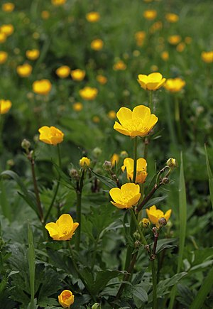 English: Creeping buttercup (Ranunculus repens...