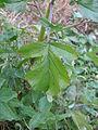 Rapistrum rugosum leaf2 (14922653386).jpg