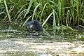 Rat musqué (Ondatra zibethicus) 02.jpg