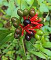 Rauwolfia serpentina (2) - സര്പ്പഗന്ധി.jpg