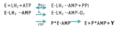 Reacción catalizada por las enzimas de las luciérnagas..png