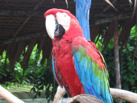 Red-and-green Macaw, Ara chloroptera, JBP, Nov 06.jpg