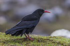 Red-billed Chough Sikkim India.jpg