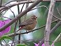Red-billed firefinch female.jpg