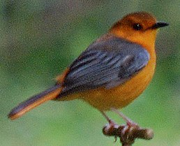 Red-capped Robin-chat (Cossypha natalensis) on tap, cropped close-up.jpg
