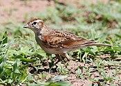 Red-capped lark, Calandrella cinerea, at Mapungubwe National Park, Limpopo, South Africa (23514690044)