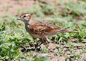 Red-capped lark, Calandrella cinerea, at Mapungubwe National Park, Limpopo, South Africa (23514690044).jpg