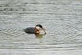 Red-necked grebe with fish in it's beak.jpg