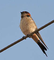 Red-rumped Swallow (Hirundo daurica) in Anantgiri, AP W IMG 8735.jpg