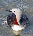 Red-throated Loon (Gavia stellata) - Summer plumage breeding adult2.jpg