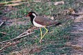 Red-wattled lapwing at Chitwan National Park (1).jpg