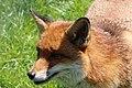 Red Fox (41927751562).jpg