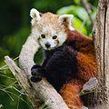 Red Panda (17171063258).jpg
