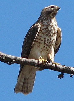 Red Shouldered Hawk.jpg