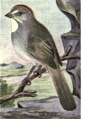 Reed-green-tailed-towhee.png