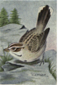 Reed-lark-sparrow.png