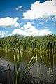 Reeds - panoramio.jpg