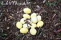 Rhea americana eggs.jpg