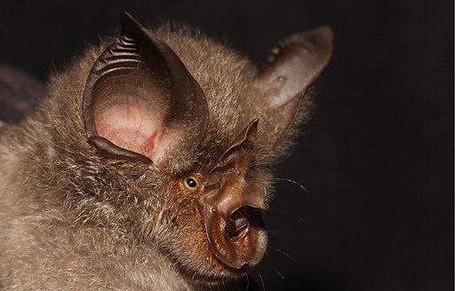 Rhinolophus smithersi