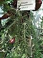 Rhipsalis in Lodz Palm House.jpg
