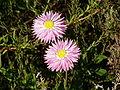 Rhodanthe chlorocephala rosea 01.jpg