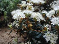 Rhododendron-palustre.JPG