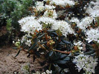 Boreal Kingdom - Rhododendron tomentosum