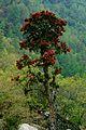 Rhododendron arboreum Thrashigyangtze.jpg