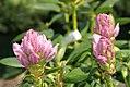 Rhododendron catawbiense Album 0zz.jpg