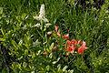 Rhododendron japonicum 10.jpg