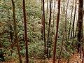 Rhododendron maximum-27527.jpg