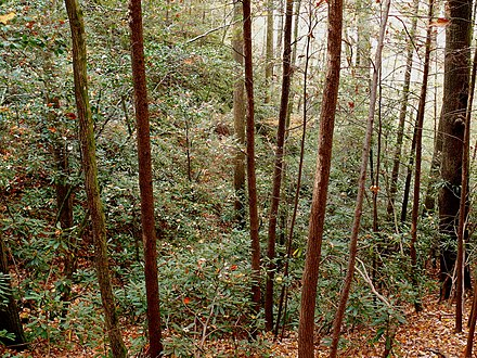 Great laurel thicket in the Pisgah National Forest Rhododendron maximum-27527.jpg