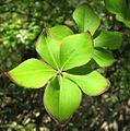 Rhododendron quinquefolium04.JPG