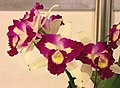 Rhyncattleanthe Li Jiuan Love -台南國際蘭展 Taiwan International Orchid Show- (39926283055).jpg