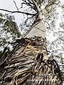 Ribbon Gum in Blue Mountains.jpg