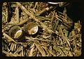 Rice and papaya in the lunch of a sugar worker on a plantation 1a34024v.jpg