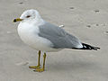 Ring-billed Gull (Larus delawarensis) RWD1.jpg