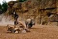 Rinoceronte a la carrera - Bioparc Valencia (2787115415).jpg