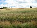 Ripening wheat on Hellington Hill - geograph.org.uk - 1397291.jpg