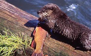 Trout Lake (Wyoming) - Image: River Otter Trout Lake YNP