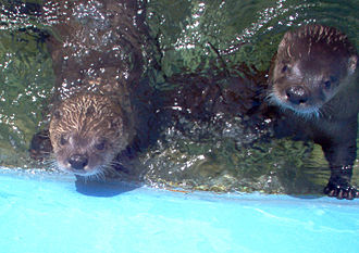Magnetic Hill Zoo - Two river otters (Lontra canadensis) at the Magnetic Hill Zoo.