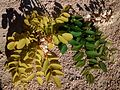 Robinia pseudoacacia 'Frisia' vs especie tipo detalle.jpg