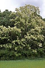 Agát biely (lat. Robinia pseudoacacia)