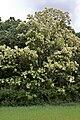 Robinia pseudoacacia sk.jpg
