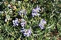 Romarin Rosmarinus officinalis 2.jpg