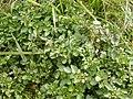 Rorippa nasturtium-aquaticum (Nasturtium officinale) (5003030276).jpg