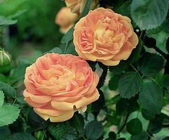 Hybrid tea rose - 'Soleil d'Or'