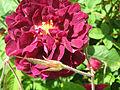 Rosa 'Tuscany Superbe'.jpg
