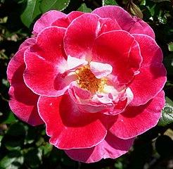 Rosa Old Master 1.jpg