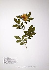 Rosa rubiginosa BW-1988-0720-0623.jpg